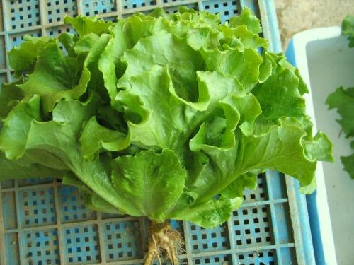 GW004 Lettuce Looseleaf3